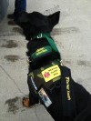 Elias the Gluten-Sniffing Dog; Photo Credit-- Elias the Gluten-Sniffing Dog Facebook page